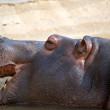 Hippo face — Stock Photo