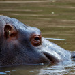 African Hippo - Stock Photo