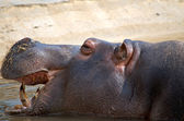Hippo face — Foto Stock