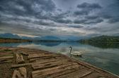 Swan in the rain — Stock Photo