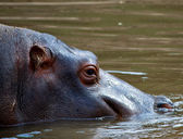 African Hippo — Stock Photo