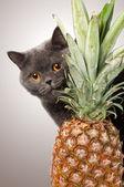 British shorthair cat with pineapple — Stock Photo