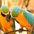 Close up of two beautiful macaws — Stock Photo