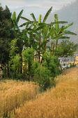 Banana plants in wheat field — Stock Photo