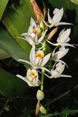 Orchidea cymbidium bianca — Foto Stock
