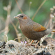 Streaked Laughingthrush, Garrulax lineatus - Stock Photo