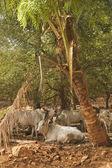 Zebu býci pod palmou — Stock fotografie