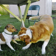Dogs playing — Stock Photo #9013401
