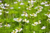 White flowers — Photo