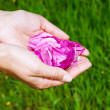 Pair of woman hands holding pink rose petals on green grass background - Stock Photo