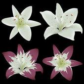 Lily bloemen geïsoleerd op zwarte achtergrond — Stockvector