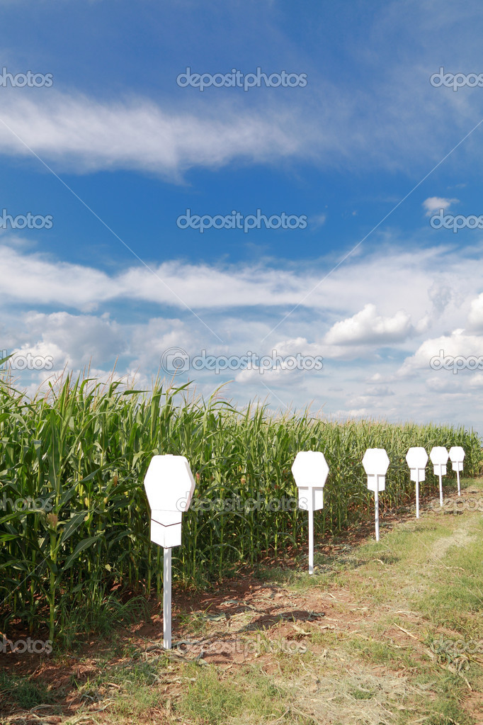 Experimental corn field in early summer with beautiful sky  Stock Photo #8894124