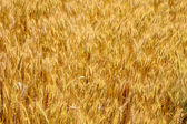 Wheat in summer — Stock Photo