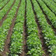 Soy field - Stock Photo