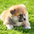 Akita pet — Stock Photo
