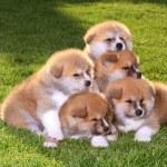Akita-Haustiere — Stockfoto
