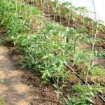 Tomato — Stock Photo #8916382