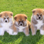 Akita huisdieren — Stockfoto #8917241