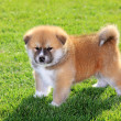 akita pet — Stock Photo #8917390