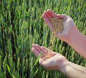 Conceito de trigo — Foto Stock