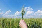 Wheat concept — Stock Photo