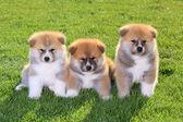 Akita pets — Stock Photo