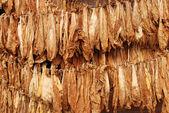 Tütün — Stok fotoğraf