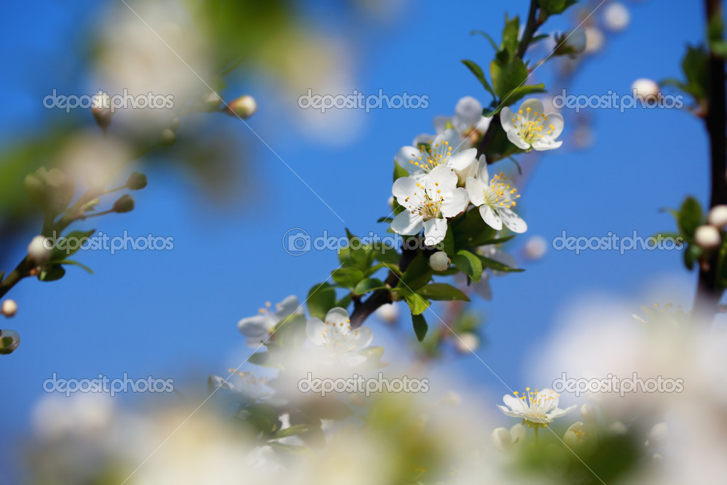 White plum flower in close up with blue sky in background — Stock Photo #8919527