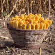 Corn harvest - Foto Stock
