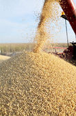 Soybean harvesting — Stock Photo