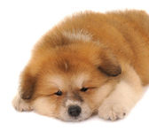 Akita puppy — Stock Photo