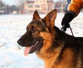 Shepherd dog — Stock Photo