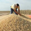 Soy bean harvesting — Foto Stock