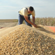 Soy bean harvesting — Stock Photo
