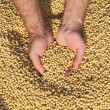 Stock Photo: Soybean