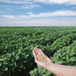 Soy field — Stock Photo #8947167