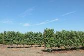 Druif plant — Stockfoto