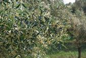 Olive flowers — Stock Photo
