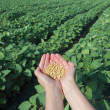 Stock Photo: Soy field