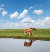 Krávy na louce — Stock fotografie