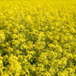 Canola — Stock Photo