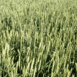 Wheat field - Stockfoto