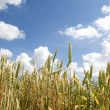 Wheat field - Foto Stock