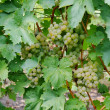 Grape plant — Photo