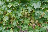 Grape plant — Stock Photo