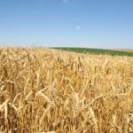 Wheat field — Stock Photo #9161520