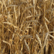 Wheat in field - 图库照片