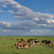 Herd of cows - 图库照片