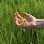 Wheat — Stock Photo #9165853
