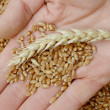 Stock Photo: Wheat concept